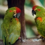 Indian Ringneck wallpapers hd