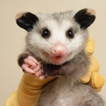 Opossum wallpapers