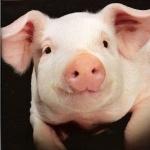 Pig new wallpaper