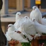Pigeon hd pics