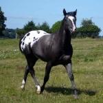 Quarter Horse X Appaloosa free
