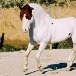 Quarter Horse X Paint pics