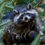Raccoon new photos