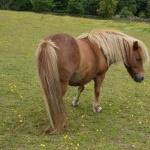 Shetland Pony photos