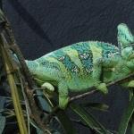 Veiled Chameleon desktop
