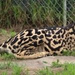 Cheetah hd pics