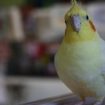 Cockatiel hd photos