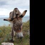 Donkey hd wallpaper