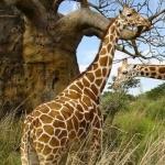 Giraffe new photos