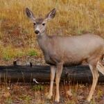 Mule Deer high definition wallpapers