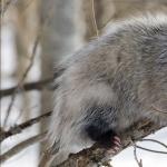 Opossum hd photos