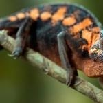 Panther Chameleon free