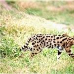 Serval full hd