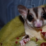 Sugar Glider full hd