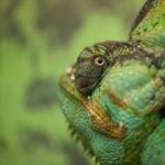 Veiled Chameleon 2016