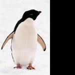Adelie Penguin photo