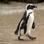 African Penguin widescreen