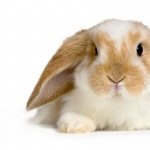 Bunnies desktop