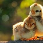 Chicken hd pics