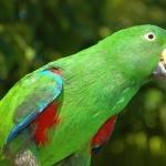 Eclectus Parrot new wallpaper
