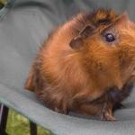Guinea Pig funny