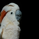 Moluccan Cockatoo hd wallpaper