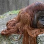 Orangutan desktop