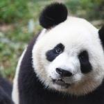 Panda 2016