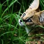 Serval pics