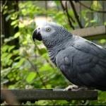 African Grey Parrot hd desktop
