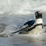 African Penguin background