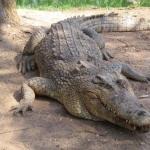 Crocodile 2016