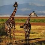 Giraffe high quality wallpapers