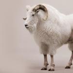Goat desktop wallpaper