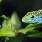 Lizard hd wallpaper