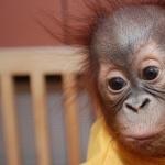 Orangutan new wallpapers
