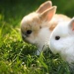 Rabbit free download