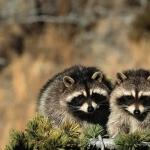 Raccoon download wallpaper