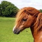 Shetland Pony desktop