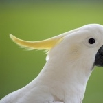 Umbrella Cockatoo hd
