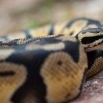 Ball Python images