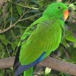 Eclectus Parrot download