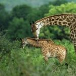 Giraffe desktop wallpaper