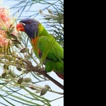 Lorikeet wallpapers for desktop