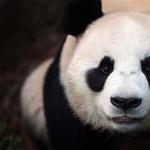 Pandas breed