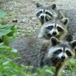 Raccoon full hd