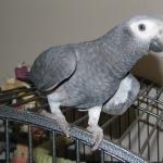 African Grey Parrot photos