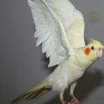 Cockatiel image