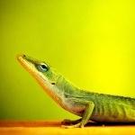 Lizard desktop