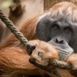 Orangutan high definition photo